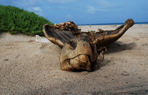 turtle_remains